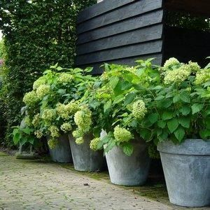 Gorgeous green hydrangeas with recycled pots...
