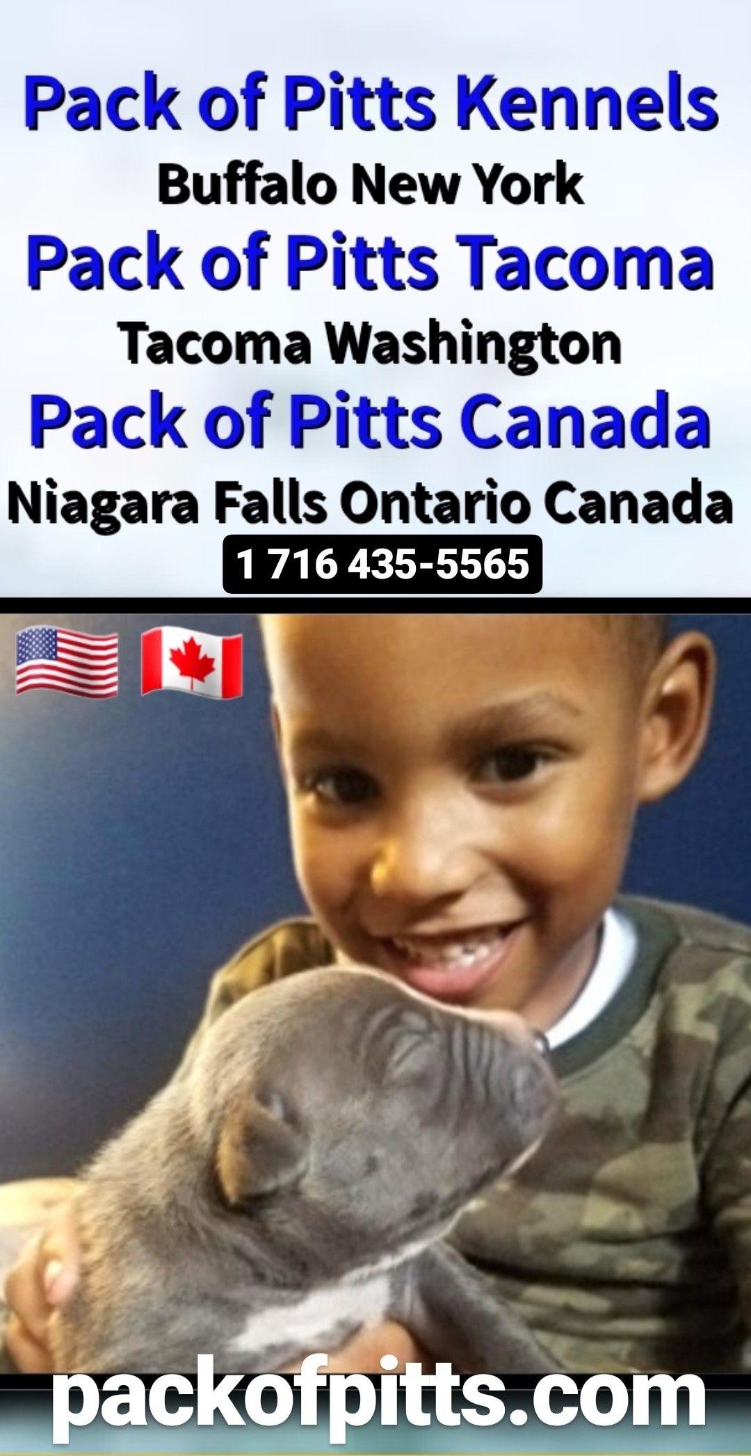 Pack Of Pitts Kennels Buffalo New York Tacoma Washington And