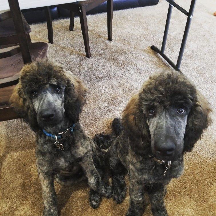 Brindle Poodles Standard Poodle Puppies 4 Months Old