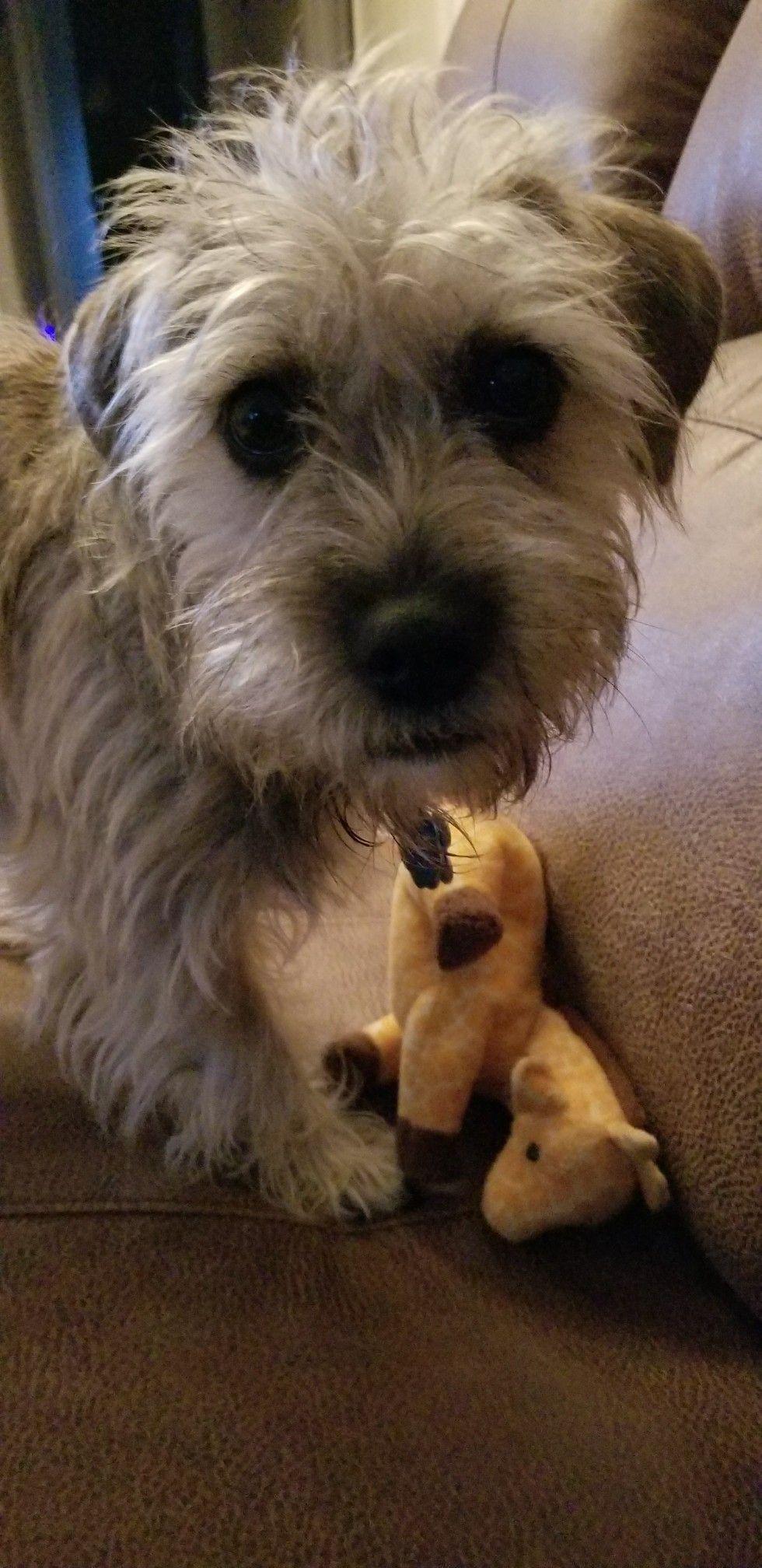 Mini Schnauzer Pug Shih Tzu Mix Scruffy Dogs Shih Tzu Mix Shih Tzu