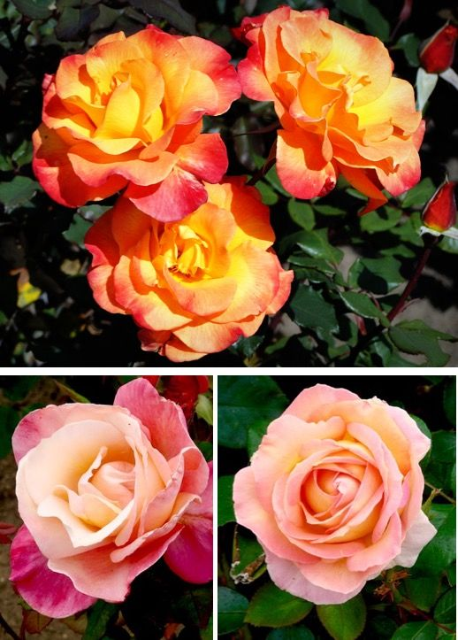 Garden Ideas and Design {Rose Growing Tips and Tricks for Best Roses Ever!}