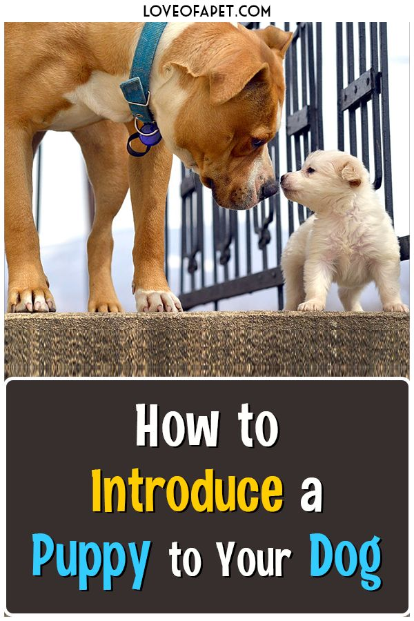 How to Introduce a Puppy to Your Dog