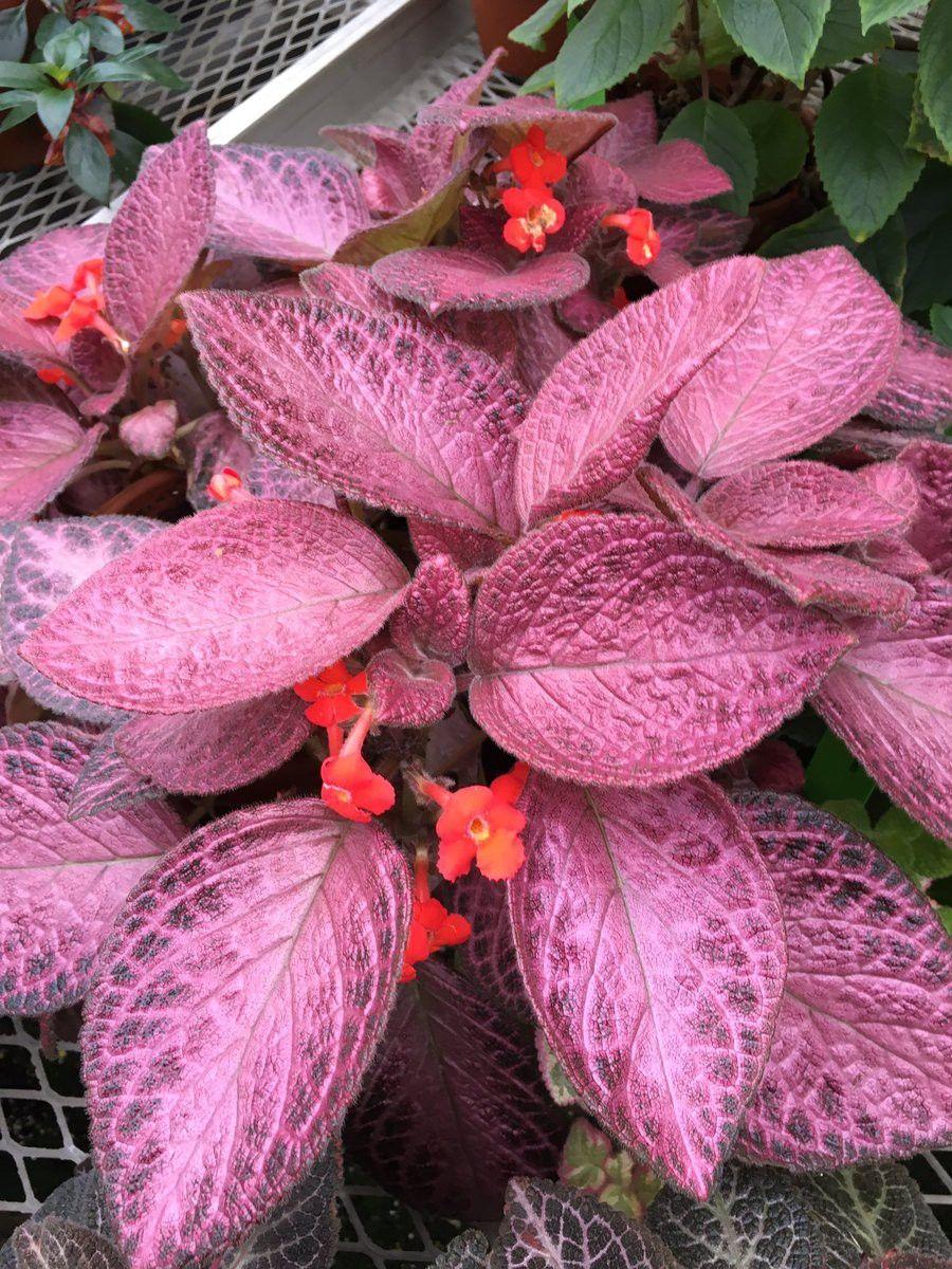 """Episcia Alice/'s Aussie  2/"""" Pot Gesneriad Terrarium Flame Violet"""