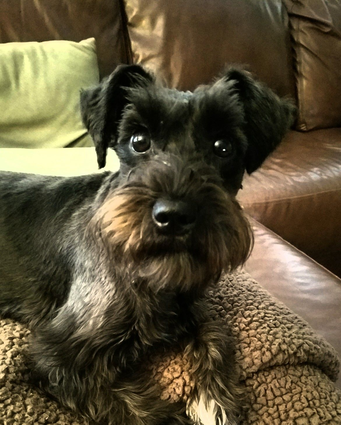 Cute Dog Pictures, Schnauzer Breed
