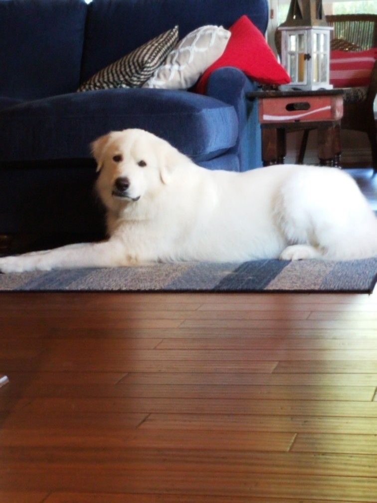 Finn The Great Pyrenees Puppies Great Pyrenees Dogs