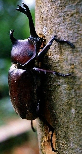 Insects -There are over 300 species of the Rhinoceros Beetles. Other common names – Hercules beetle, Unicorn beetle or Horn beetle.
