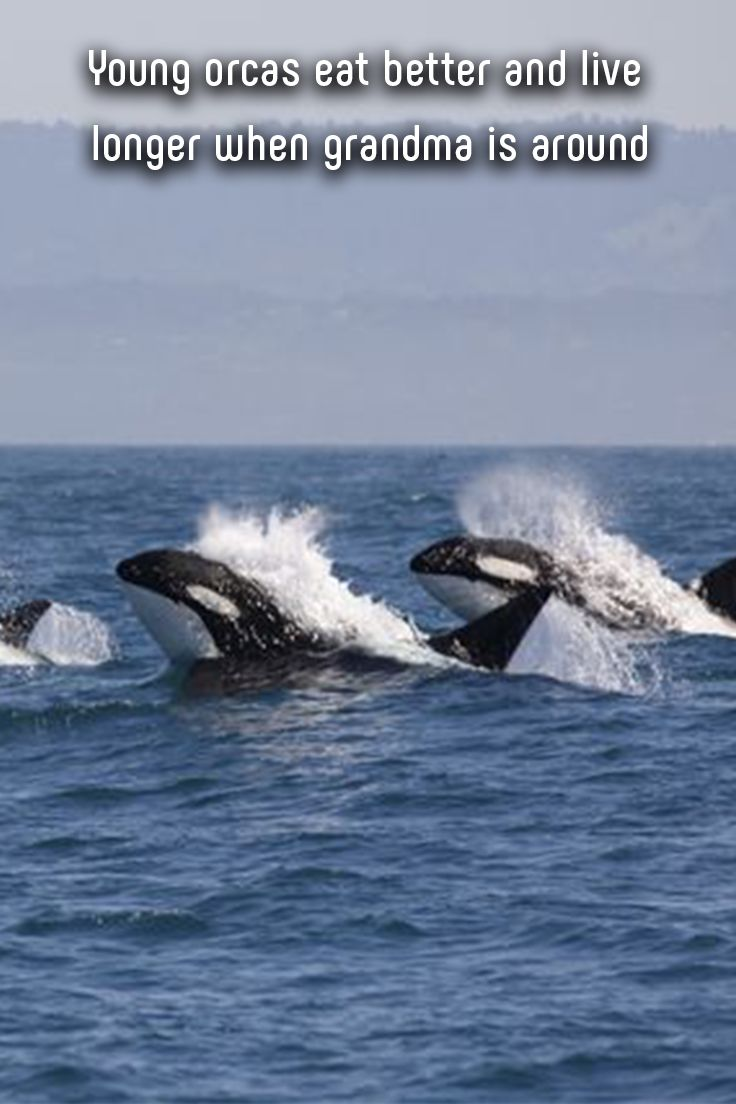 It's hard to measure how much we benefit from the influence of a grandmother. #animals #whales #orcas #grandma