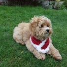 PDF Crochet PATTERN - Santa Cowl/ Dog Cat Neckwarmer//Christmas Pet Accessories/ Chunky Cowl/Stocking Stuffers