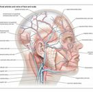 A1 Poster. Superficial arteries and veins of the face and scalp