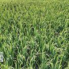 Hoxem Rarest Delhi Basmati Paddy Seeds/Grains for Sowing, 200 Grams, More Than 12500 Seeds