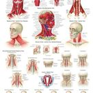 Human Muscles of the Neck Poster