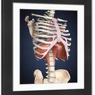 Large Framed Photo. Visualization of human diaphragm