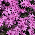 Creeping Thyme ground cover, 1000 seeds, fragrant herb, pink blooms, perennial zones 4 to 9, sun or light shade, deerproof, Thymus serpyllum