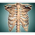 25cm Photo. Close-up view of human rib cage