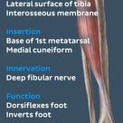 Anterior muscles of the leg