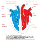 Parts of the heart diagram worksheet.   Teaching Resources