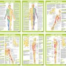 Muscle Anatomy Charts  Skeletal human Body Posters | Etsy