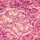 Pancreas Slide | anatomyforme: Endocrine Histology Pancreas, Thymus and Pineal Body