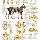Domestic Cat Skeletal Skull Anatomy Poster 24