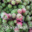 100PCS Sedum Seeds German imports of potted flowers sedum succulents radiation wonderful fleshy seed Purple Goddess of Mercy