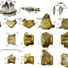 Fig. 6. Teeth and representative vertebrae of the smallest...