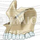 Crânioilustrações anatômicas