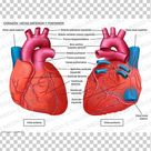 Heart Anatomy Front Vowel Back Vowel Circulatory System PNG   Free Download