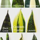 Snake Plant Care & 5 Amazing Benefits of Sansevieria
