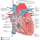 The Cardiovascular System (Structure and Function) (Nursing) Part 1
