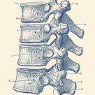 Spinal Cord - Vertebrae View - Vintage Anatomy Print by Vintage Anatomy Prints