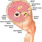 Yoga Anatomy Glues, Hamstrings, Adductors| Jason Crandell Vinyasa Yoga Method