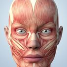 Poster: Harris' Muscular System of the Head, 24x18in.