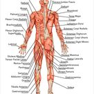 Muskulatur: Die wichtigsten Muskeln des Menschen im Überblick