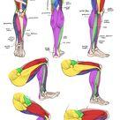 Anatomy - Leg Muscles by Quarter-Virus on DeviantArt
