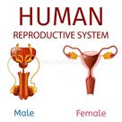 Human Reproductive System Male And Female Genitals Stock Vector - Illustration of internal, biology: 141839237