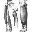 Poster Print. Femoral region anatomy engraving 1866
