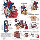 Das menschliche Gehirn Lehrtafel  Anatomie 50 x 67 cm Poster • EUR 9,95