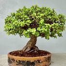 Bonsai Tree 🌳 Dwarf Jade (Portulacaria afra)