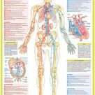 Heart and Cardiovascular Anatomy Poster | Etsy