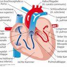 herz anatomie und physiologie