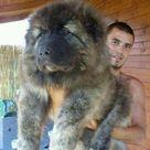 Tibetan Mountain Dog