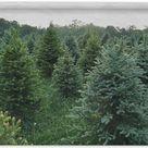 Wandkleed Denneboom - De dennenbomen op een boerderij Wandkleed katoen 150x100 cm - Wandtapijt met foto