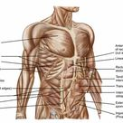 10 inch Photo. Anatomy of human abdominal muscles