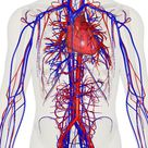 Depiction of the heart, major veins and arteries constructed from body scans.. Circulatory system - Wikipedia