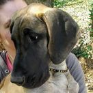 Baltic Amber Pet Collar, Dog Collar, Cat Collar, Flea Collar