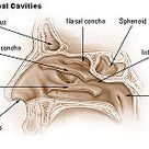 Nasal concha - Wikipedia