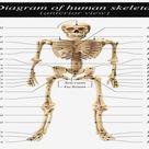 Labeled Skeletal System Diagram – Skeletal System Labeled – Label   Best Diagram Collection