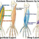 Print Muscles of the Forearm and Hand flashcards