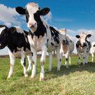 Do Happy Animals Produce Better Food?