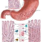 MUCOUS MEMBRANE OF STOMACH
